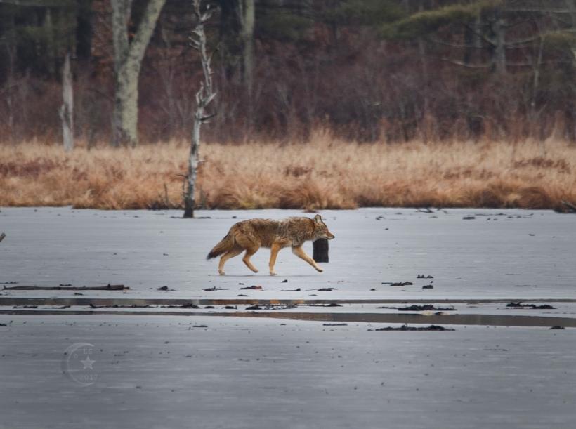 Coyote1630wmls.jpg