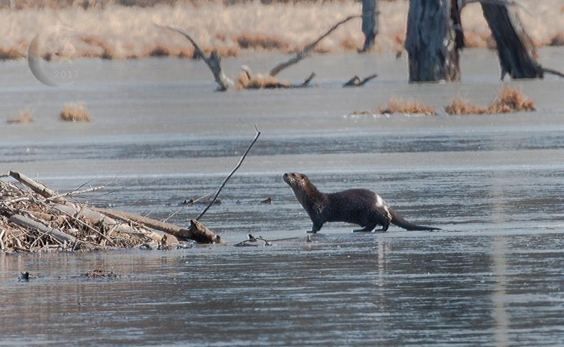 Otter 0936wm.jpg