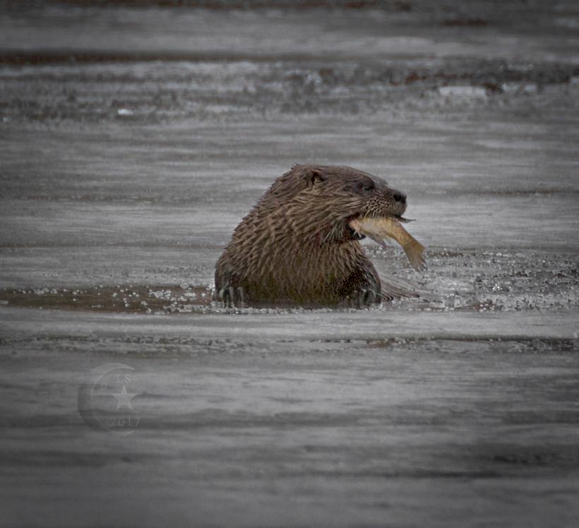 Otter 454a1644wm