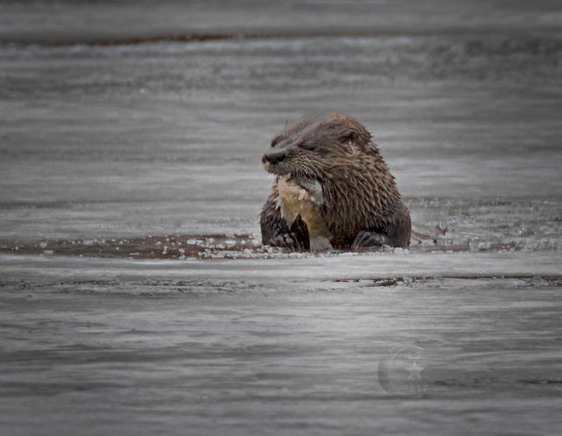 Otter 454a1649wm