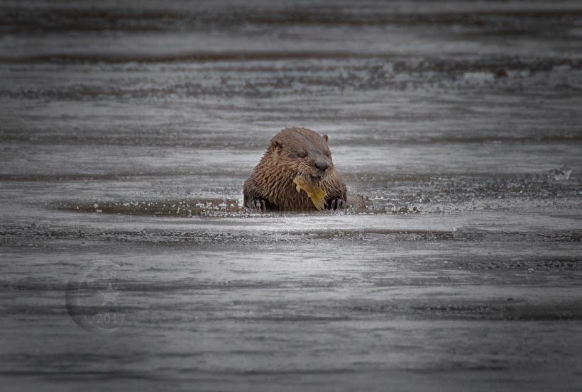 Otter 454a1659wm