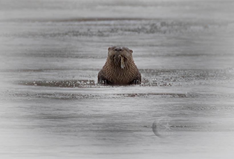Otter 454a1660wm
