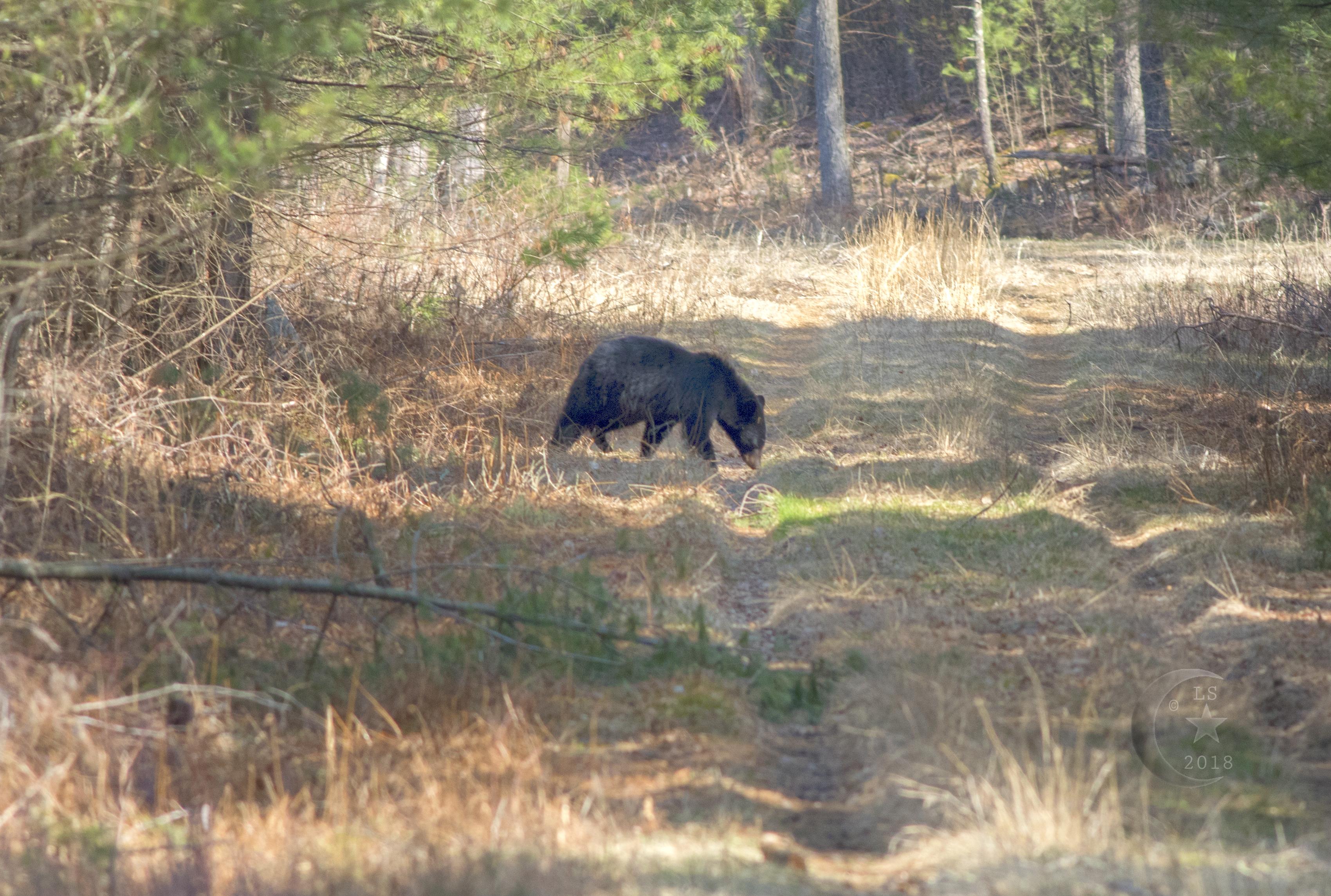 Black Bear _V5A5076wmls.jpg
