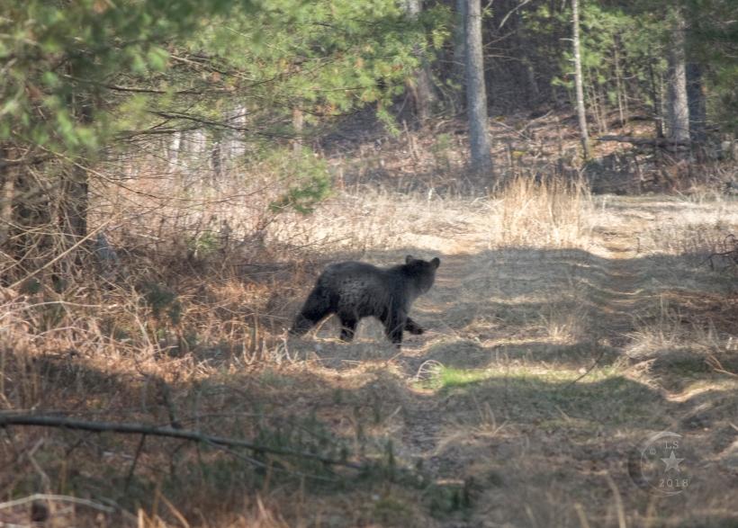 Black Bear _V5A5079wmls.jpg