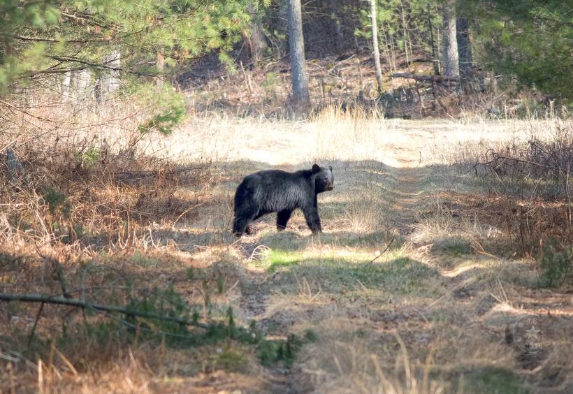 Black Bear _V5A5082wmls.jpg
