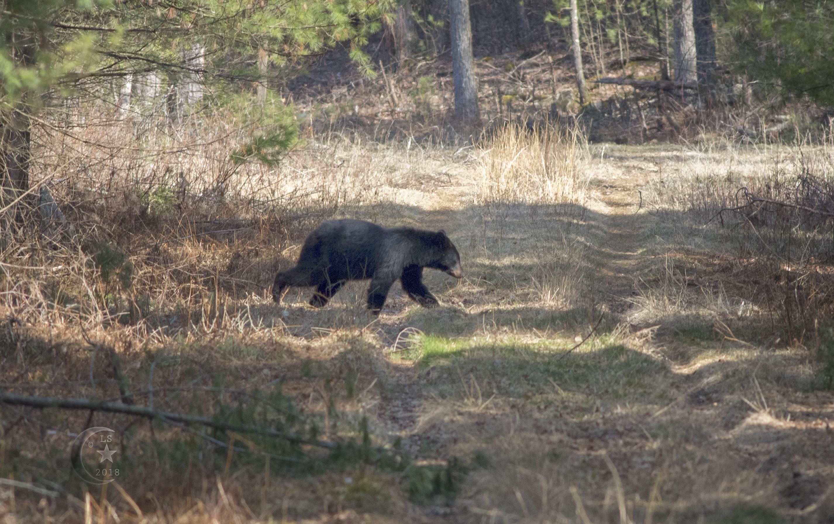 Black Bear_V5A5080wmls.jpg