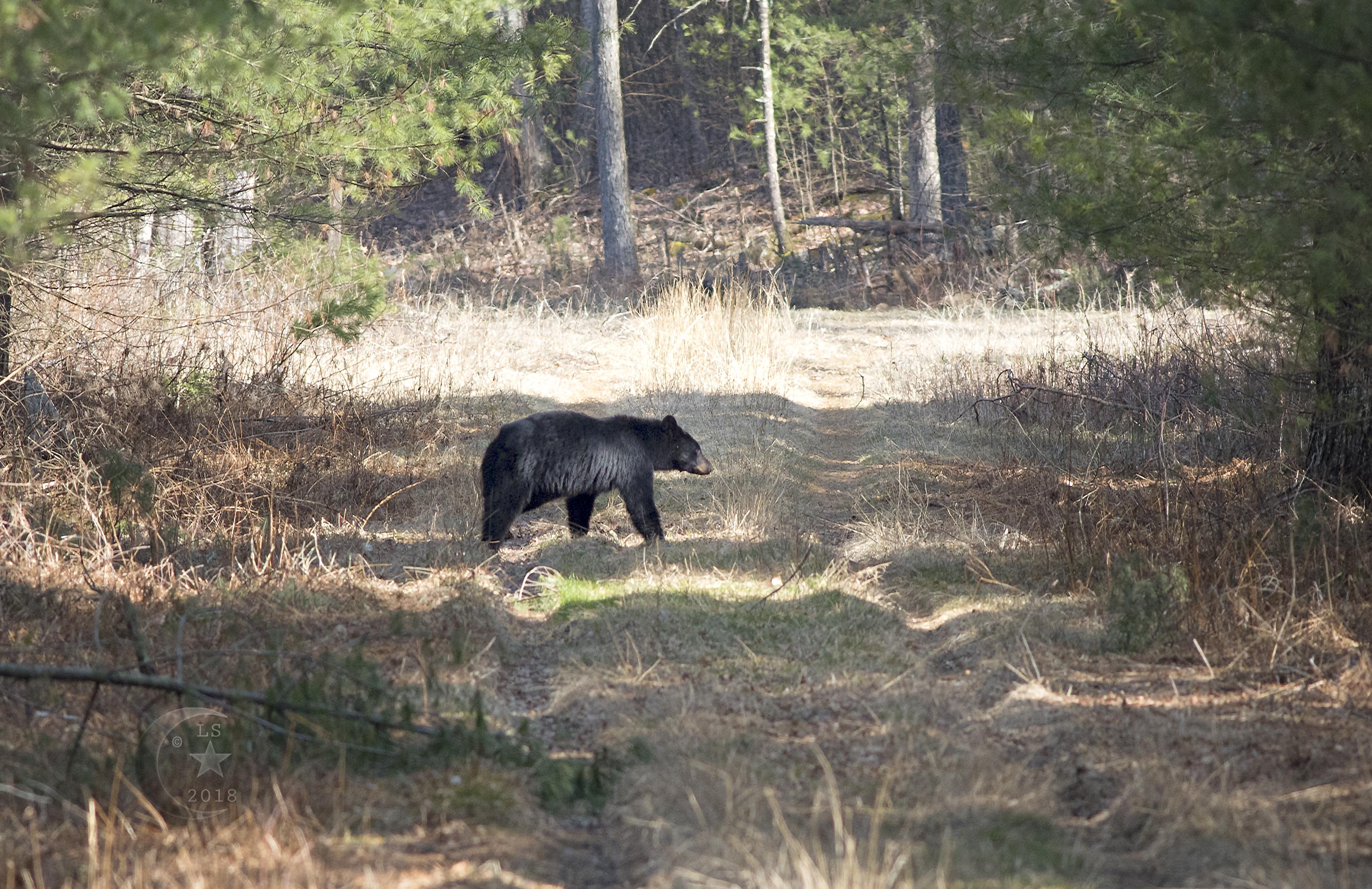 Black Bear_V5A5081wmls.jpg