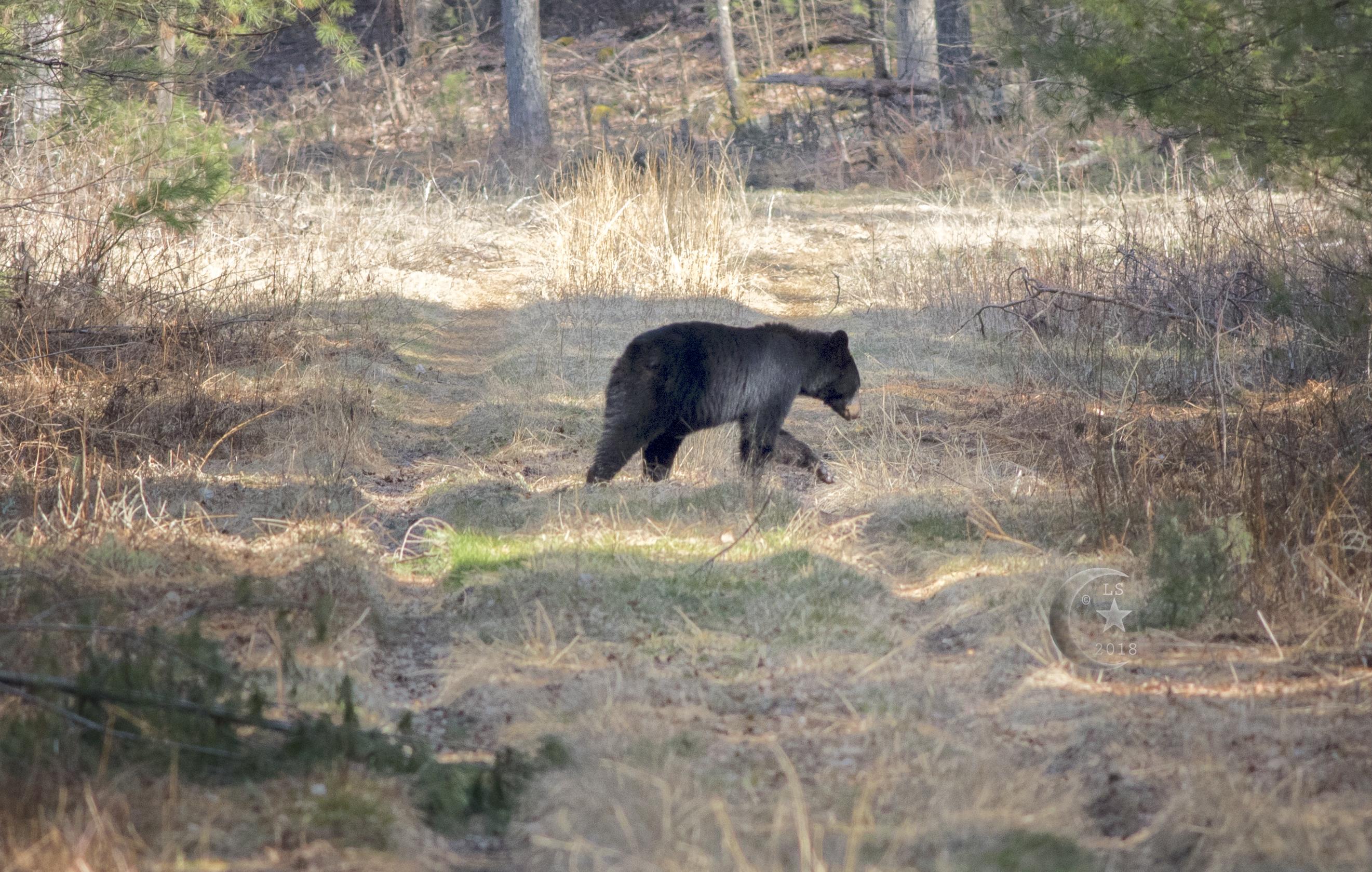 Black Bear_V5A5085wmls.jpg