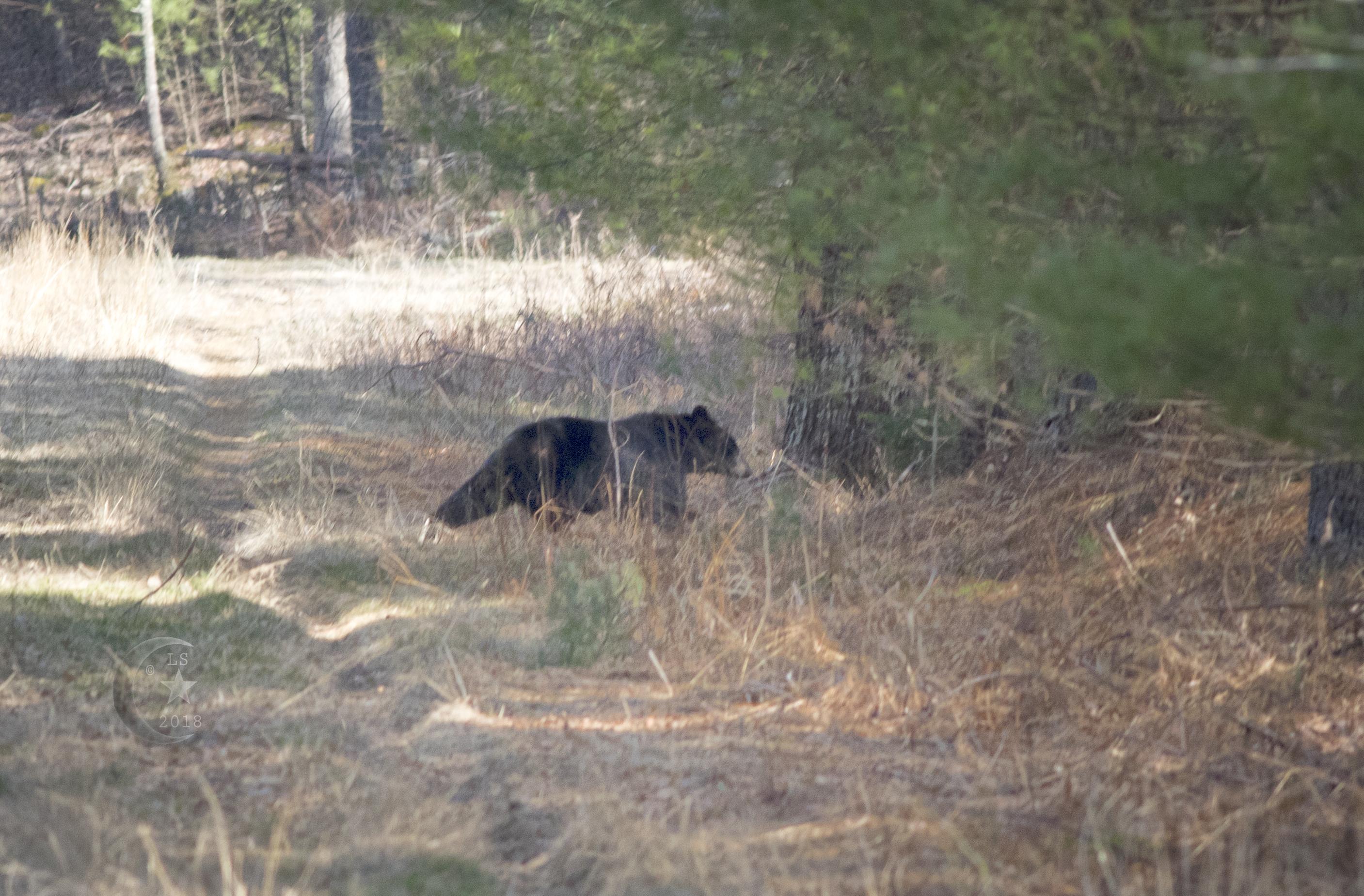 Black Bear_V5A5093wmls.jpg