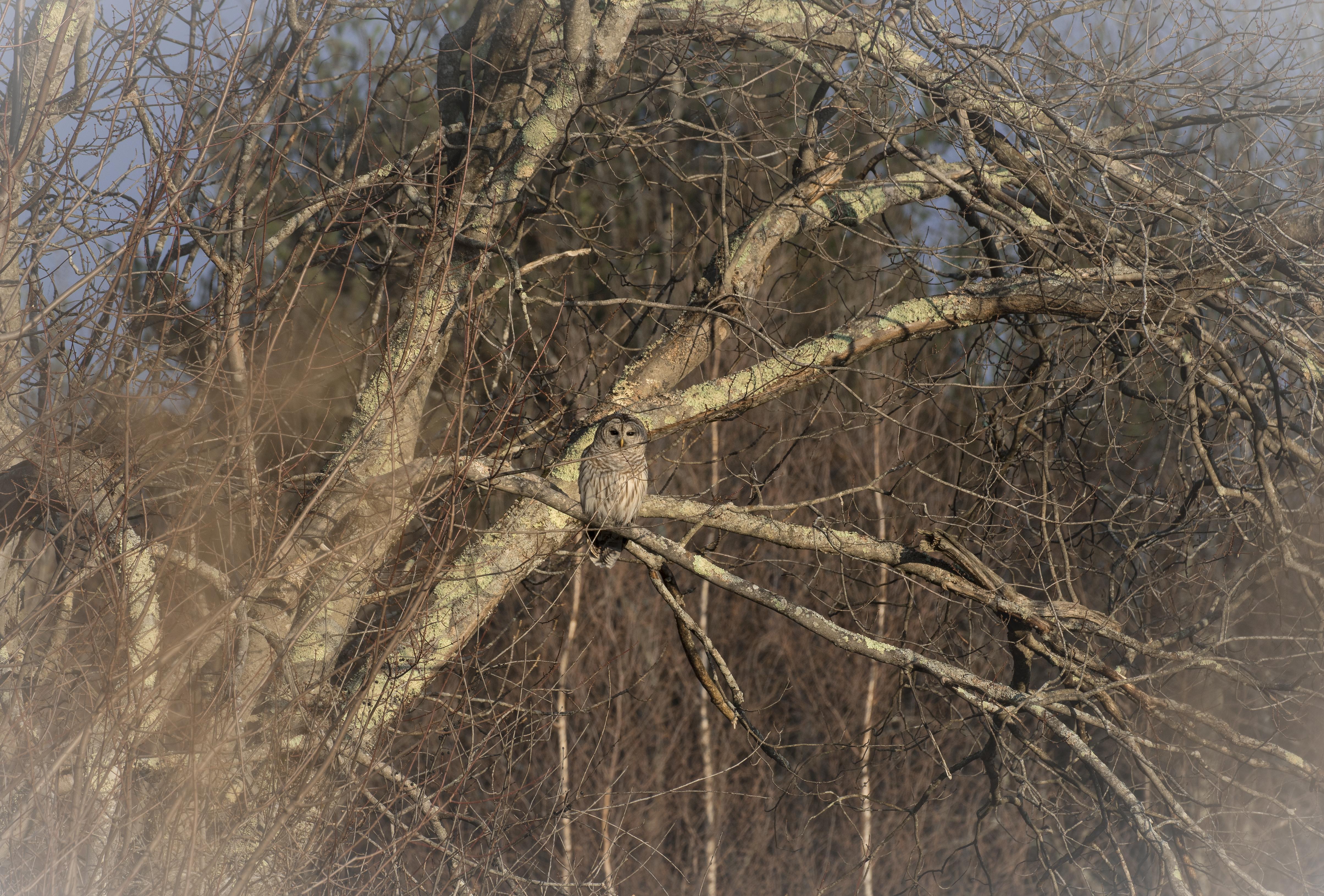 barred owl 4s4a9378wm