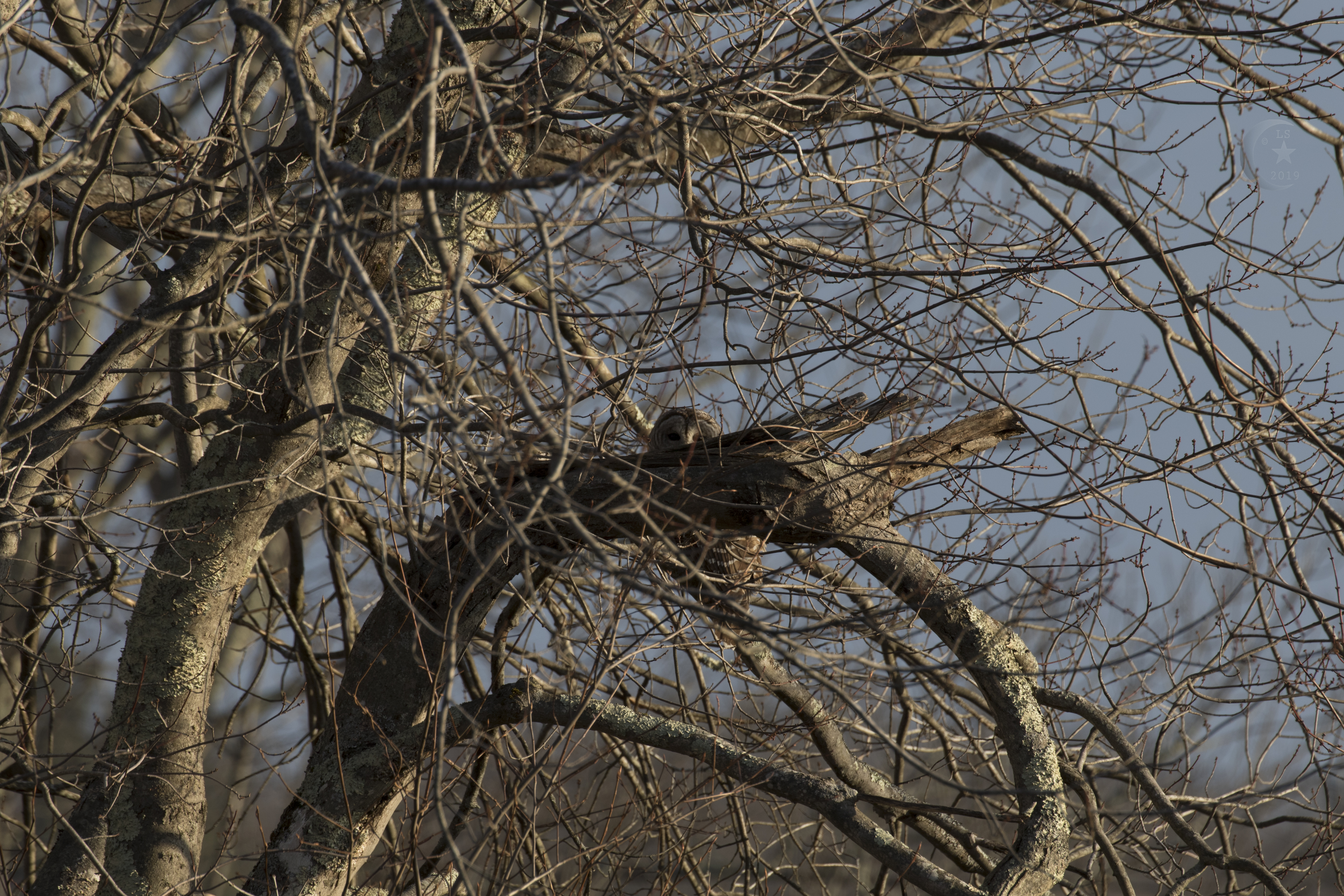 barred owl untouched 4s4a9326wm