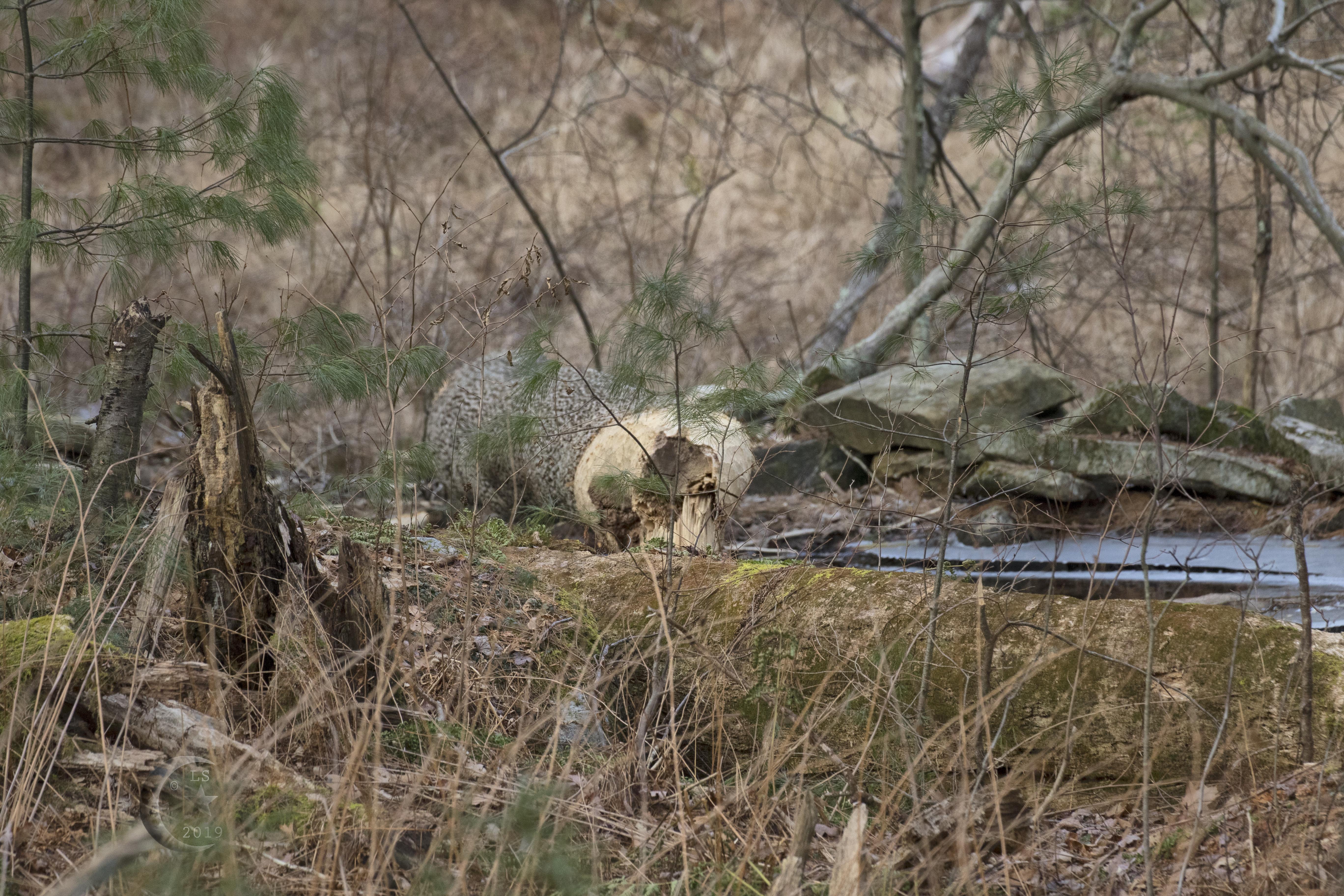 beaver damage 4s4a9380wm